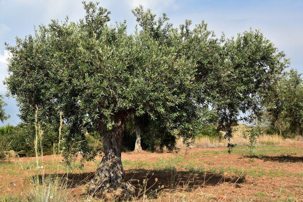 La imagen tiene un atributo ALT vacío; su nombre de archivo es olive-tree-3662627_1920.jpg